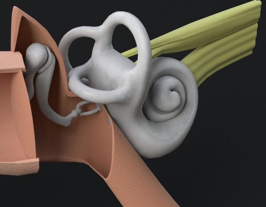 Células sensoriales del oído interno